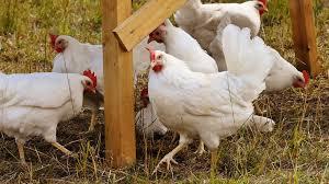 Агенцията по храните унищожава 174 хил. кокошки носачки