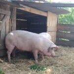 Влизат в сила нови изисквания за по-висока биосигурност при отглеждане на свине в лични стопанства