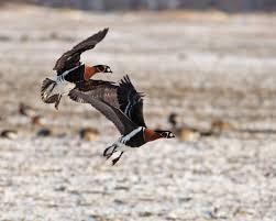 Зимуващите в област Пазарджик водолюбиви птици са по-малко заради топлата зима