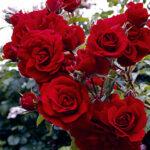 Срокът за подаване на информация за розовите масиви в Пещера се удължава