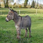 8 май – Световен ден на магарето