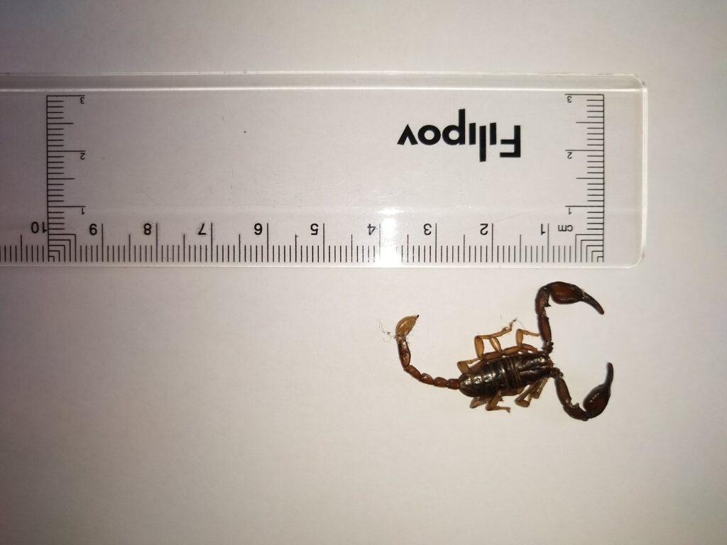 skorpion__