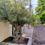 """350-годишно маслиново дърво удивява пещерци от """"Габер"""" махала"""