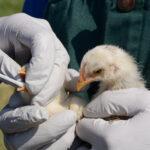 В Пещера : Инфлуенца по птиците събра Общинската епизоотична комисия