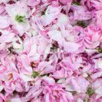 16-сет розопроизводители има на територията на общината