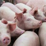 Откриха огнище на чума по свинете във фамилна ферма в с. Сбор